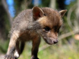 Juvenile Fox Exploring in a Forest Photographic Print by Brooke Whatnall