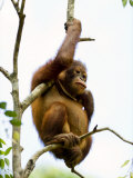 Young Orangutan Sitting in a Tree Photographic Print by Mattias Klum