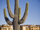 Saguaro Cactus and Construction Site Photographic Print by John Burcham