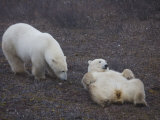 Two Polar Bears Spar Playfully Photographic Print by Taylor S. Kennedy