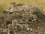 Cheetah Family: Mother and Cubs Photographic Print by Michael Polzia