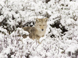Coyote Hunting in Snow-Blanketed Brush Photographic Print by William Allen
