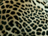 Detail of the Rosette Spots on a Leopard's Coat, Panthera Pardus Photographic Print by Beverly Joubert