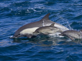 Long-Beaked Common Dolphins, Delphinus Capensis, Leaping and Swimming Photographic Print by Ralph Lee Hopkins