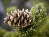 Close Up of a Bristlecone Pine Photographic Print by Scott Warren