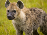 Portrait of a Young Hyena Photographic Print by Michael Melford