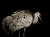 Endangered Mississippi Sandhill Crane Photographic Print by Joel Sartore