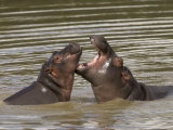 Pair of Hippopotamuses Interacting in their Watery Habitat Photographic Print by Roy Toft