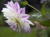 Close Up of a Dahlia Flower Photographic Print by Scott Warren