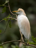 Cattle Egret Perched on Branch Photographic Print by Roy Toft