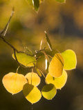 Quaking Aspen Leaves in Fall Backlit by Sunlight Photographic Print by Phil Schermeister