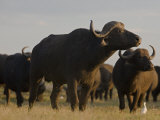 Herd of African Buffalo on the Duba Plains Photographic Print by Beverly Joubert