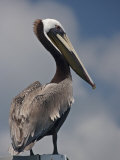 Portrait of a Brown Pelican in Belize Photographic Print by Michael Melford
