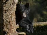 Black Bear on Tree Branch in Tongass National Forest Fotografisk tryk af Melissa Farlow