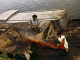 Man and Boy Inspect a Sawfish Caught in Lake Nicaragua Photographic Print by Luis Marden