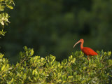 Scarlet Ibis Roosting in a Mangrove Tree Photographic Print by Tim Laman