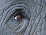 Close Detail of the Eye and Skin of an African Elephant Photographic Print by Beverly Joubert