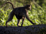 Olive Baboon Walking with Baby Hanging to Her Underbelly Photographic Print by Roy Toft