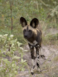 Alert and Inquisitive Wild Cape Hunting Dog Photographic Print by Roy Toft