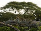 Leopard Resting on a Strong Tree Limb Photographic Print by Beverly Joubert