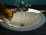 Orange Tabby Cat Watching Water Flow into a Bathroom Sink Photographic Print by Todd Gipstein