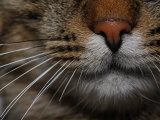 Close Up of the Face of a Domestic Cat Photographic Print by Jozsef Szentpeteri