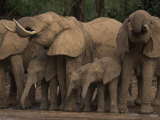 Elephants Drinking from a River in Samburu National Park Photographic Print by Michael Nichols