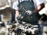 Fisherman Separating Clumps of Oysters Photographic Print by Tyrone Turner