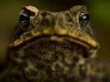 Close Up Portrait of a Rain Forest Frog Photographic Print by Mattias Klum