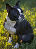 Boston Terrier Sits at Attention in the Grass at Sunset Photographic Print by Hannele Lahti