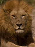 Portrait of a Resting Male African Lion, Panthera Leo Photographic Print by Beverly Joubert