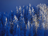Hoar Frost on a Forest Photographic Print by Nick Norman