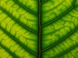 Backlit Close Up of a Fig Leaf, with Visible Veins Photographic Print by Jozsef Szentpeteri