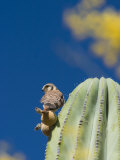 American Kestrel, Falco Sparverius, on a Cardon Cactus Photographic Print by Ralph Lee Hopkins