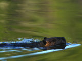 Canadian Beaver Swims Through the Water Photographic Print by Nick Norman
