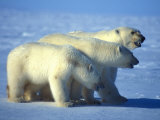 Three Polar Bears on Ice Photographic Print by Nick Norman
