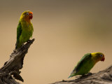 Fischer's Lovebirds Perch on a Branch Papier Photo par Ralph Lee Hopkins