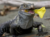 Spiny-Tailed Iguana Eating a Yellow Flower Photographic Print by Roy Toft