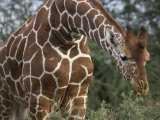Giraffe in Samburu National Reserve Photographic Print by Michael Nichols