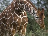 Giraffe in Samburu National Reserve Photographic Print by Michael Nichols