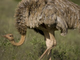 Female Ostrich in Samburu National Reserve Photographic Print by Michael Nichols