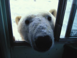 Polar Bear Looks Through a Bus Window Photographic Print by Nick Norman