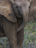 African Elephant in Samburu National Park Photographic Print by Michael Nichols