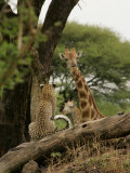Leopard (Panthera Pardus) Sitting on Tree Branch Looking at Giraffe Photographic Print by Beverly Joubert