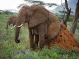 Female Elephant Scratching on a Termite Mound Photographic Print by Michael Nichols