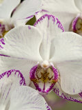 Close Up of a Group of White Phalaenopsis Orchid Flowers Photographic Print by Hannele Lahti
