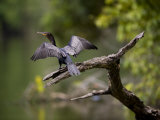 Blue-Eyed Cormorant Sunning it's Wings on a Dead Tree Snag Photographic Print by Mattias Klum