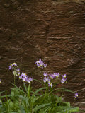 Shooting Star Flowers Photographic Print by John Burcham