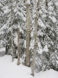 Stand of Birch Trees on a Snowy Day Photographic Print by Taylor S. Kennedy