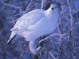 Willow Ptarmigan Perched on a Branch Photographic Print by Nick Norman